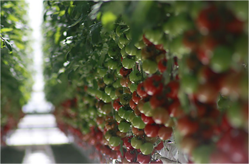 Truly Green Farms's tomatoes